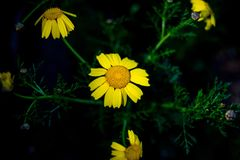 Bright colorful yellow coreopsis flowers at night Royalty Free Stock Photography