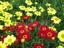 Bright colorful yellow and red Argyranthemum flowers in full bloom. Vancouver, Canada, May Spring 2019 stock photo