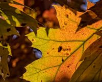 Bright Colors of an Autumn Leaf Royalty Free Stock Images