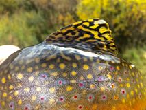 Bright Colors of a Brook Trout royalty free stock image