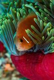 Bright colors of clownfish, anemone fish, hiding in pink and blue sea anemone. Bright colors of clownfish, anemone fish, hiding in pink sea anemone Stock Image