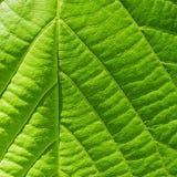 Grape leaf macro Stock Photo