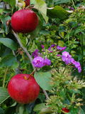The bright colors of the month of August. red apples Russian orchard and ornamental flowers purple Phlox. Royalty Free Stock Photos
