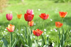 Flowering tulips on green grass in the garden in sunny day. Stock Photo