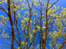 Bright colors of spring. Green leaves on tree against the blue skies in the spring Royalty Free Stock Photography
