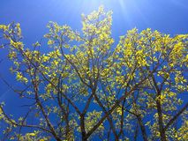 Bright colors of spring. A tree with new leaves against the blue skies in the spring Stock Photo