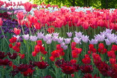 Bright colors of spring tulips during flowering. Spring flowering of tulips, hundreds of bright colors on flowers in the park. Kiev, Ukraine Stock Photo