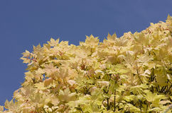 Bright coloruful yellow fall tree leaves on blue sky background Royalty Free Stock Image