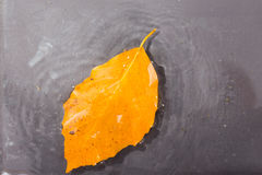 Bright colourful autumn leaf floating in water Royalty Free Stock Photo