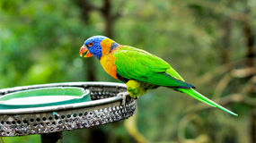 Bright Colourful Parrot. Colourful parrot drinking happily while the feeder sending water to them Royalty Free Stock Photos