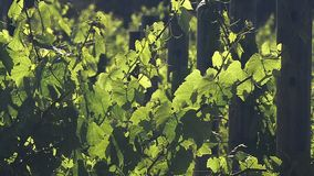 Deliberate variation of more formal photos of grape Vines. royalty free stock photos