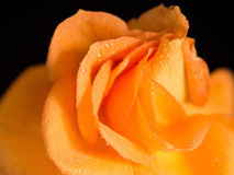 Bright convolute petal of lovely orange rose Stock Photo