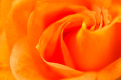 Bright convolute petal of lovely orange rose Stock Images