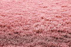 Bright coral or pink grass background royalty free stock photography
