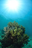 Bright coral underwater in Sipadan Stock Image
