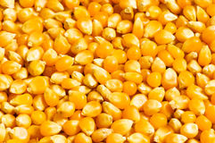 Bright corn kernels. Arranged as the background Stock Photo