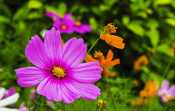 The bright cosmos Royalty Free Stock Photography