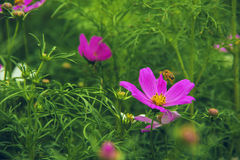 The bright cosmos Stock Photography
