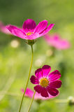 Bright cosmos flowers in sunlight in the garden. Artistic image of a flower with soft focus. selective focus Stock Image