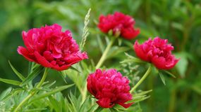 Bright crimson blossomed peonies surrounded by spring greenery. stock images