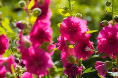Bright crimson mallow flowers on a blurred background. Bright crimson malva flowers with green leaves close up on a blur background Royalty Free Stock Images