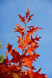 Bright crimson maple tree branch against the sky (optimistic, po Royalty Free Stock Photography