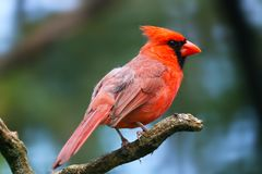 Free Bright Crimson Red Common Or Northern Cardinal Male In Side View Sitting On A Branch Royalty Free Stock Photos - 155530508