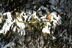 Bright curious crossbill sits on the snowy branches. Of huge spruce trees and looking into the camera. Sunny day in winter forest Royalty Free Stock Photography