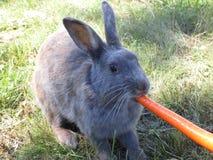 Bright grey bunny rabbit fed carrot at Jericho beach. Bright cute grey bunny rabbit being fed carrot treat at Jericho beach, Vancouver stock photos