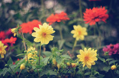 Bright dahlias in the garden. Bright yellow and red dahlias growing in the garden Royalty Free Stock Photos