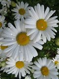 Bright Daisies Royalty Free Stock Images