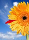 Bright Daisy Stock Image