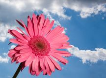 Bright Daisy. Bright red daisy on blue sky Royalty Free Stock Photography