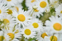 Bright daisy flowers on a sunny day Royalty Free Stock Photo