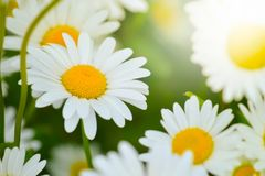 Bright daisy flowers on a sunny day on the lawn Royalty Free Stock Photography
