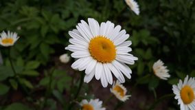 Bright daisy among the grass royalty free stock photography