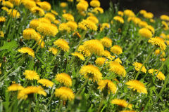 Bright dandelion field. The first spring yellow dandelions flowers growing freely Royalty Free Stock Photography