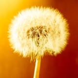 Bright Dandelion Stock Photography