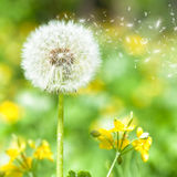Bright dandelion with flying seeds Stock Photography