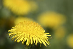 Bright dandelion. Bright yellow dandelion in full bloom isolated on a blurry background of more dandelions stock photo