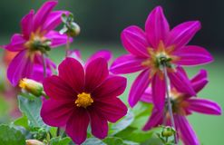 Bright dark pink dahlias grow in the park. Cloudy day, a few pieces, flowers marigolds Royalty Free Stock Photos