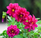 Bright dark pink dahlias grow in the park. Cloudy day, a few pieces Royalty Free Stock Photo