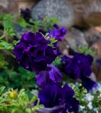 Bright dark violet petunia flower close up royalty free stock photos