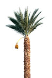 Bright date-palm tree isolated on white Stock Image