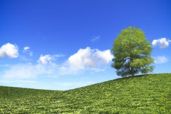 Bright day in nature. An image of an idyllic green tree under the bright blue sky with space for your content Stock Images