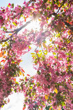 Bright Day Pink Flowers Blossoming Spring April Colorful Sun Fla Royalty Free Stock Image