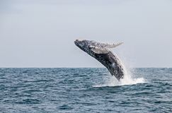 A bright day on the see for a humpback whale jumping stock photo