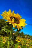 Bright day with Sunflower Stock Photos
