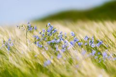 Free Bright Delicate Blue Flower Of Ornamental Flower Of Flax And Its Shoot Against Complex Background. Flowers Of Decorative Flax. Stock Photos - 155859743
