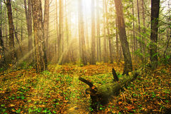 Bright depth. Mysterious light in the deep wood Royalty Free Stock Image